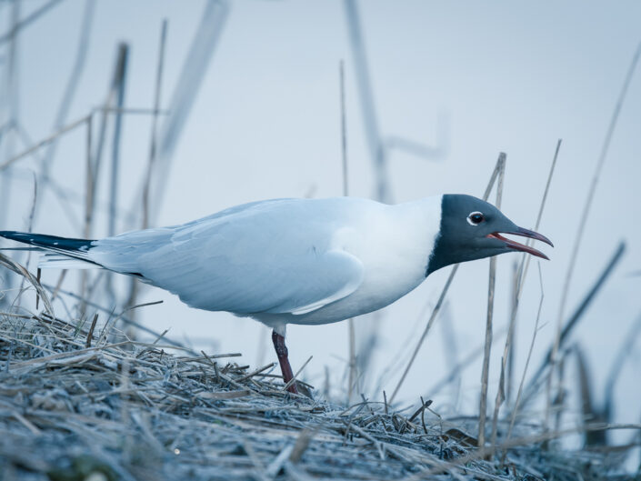 Leaning gull