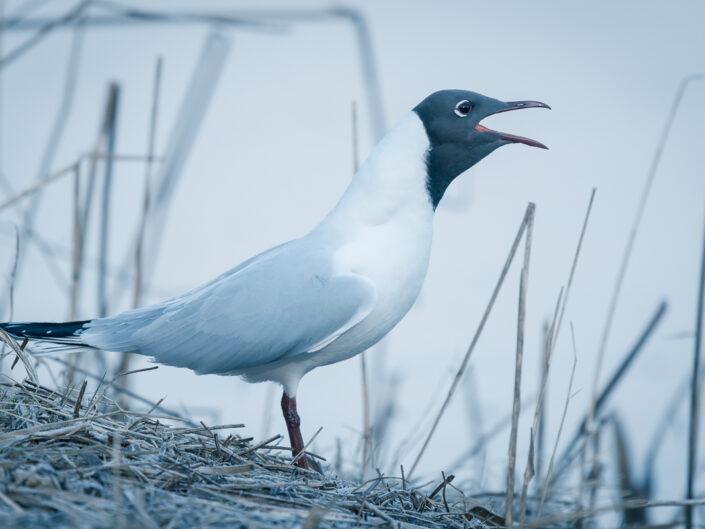 Rising gull